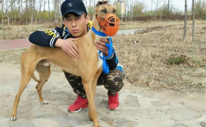 格力犬种公小盛大_小拉克兰 LKBD 147A - 格力犬YY--格力犬中英文血统查询