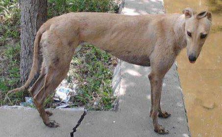 海浪公主 156111110029513 格力犬yy 格力犬中英文血统查询图片