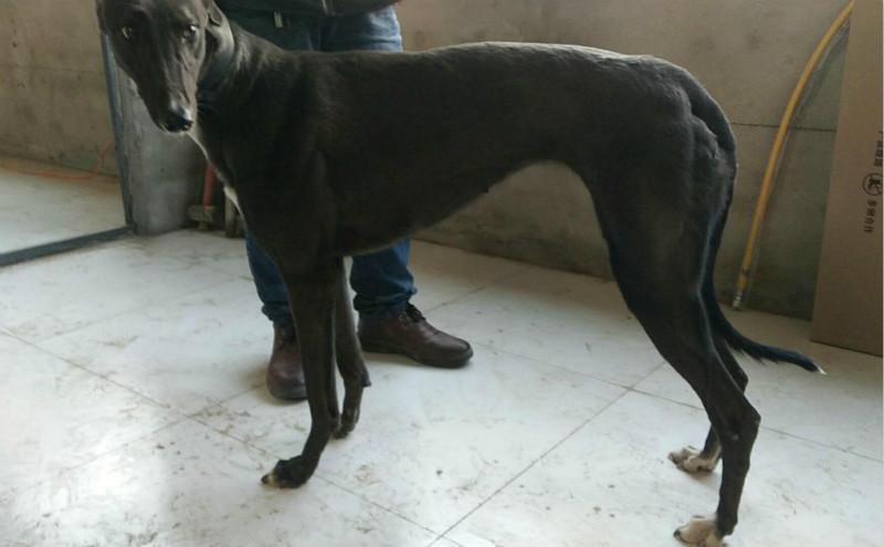 纯黑马犬图片_黑马 DBJS8,900250000274649 - 格力犬YY--格力犬中英文血统查询