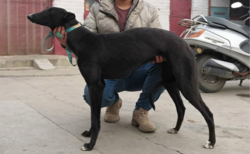 格力犬种公小盛大_小黑 NGXH 418AB,900115000929115 - 格力犬YY--格力犬中英文血统查询