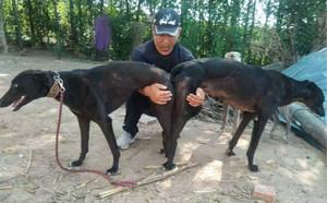 格力犬狗种小包配种_小蒙 900250000499365,HDXH1607 - 格力犬YY--格力犬中英文血统查询
