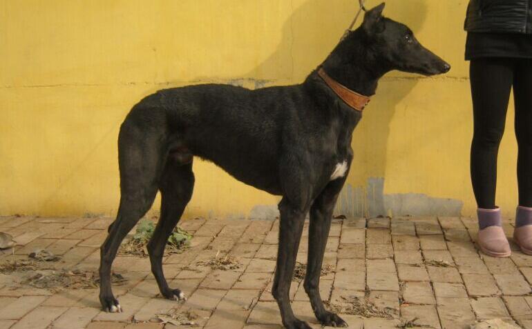 格力犬狗种小包配种_小大包 NGQX 511AM,900111880207355 - 格力犬YY--格力犬中英文血统查询