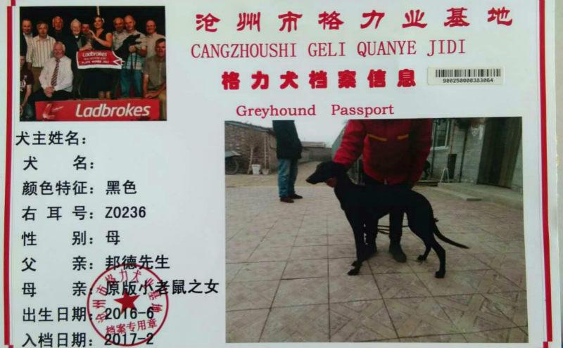 格力犬种公小盛大_老铁 900250000383064,Z0236 - 格力犬YY--格力犬中英文血统查询